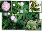 Semi di Mimosa Pudica