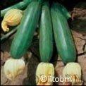 Semi di Zucchino Verde Scuro Nano di Milano