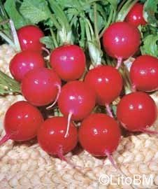 Semi di Ravanello Rosso Tondo Saxa 2
