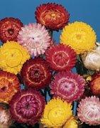 Semi di Fiore di Paglia in Mix