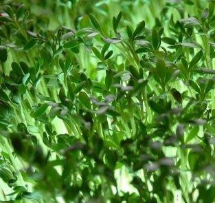 Semi di Crescione Comune - 50 Gr