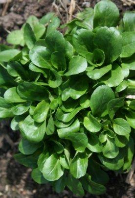 Semi di Valeriana Verde a Cuore Pieno - 25 Gr
