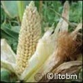 Semi di Mais Pop Corn