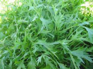 B480-25 Semi di Brassica Mizuna