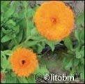 Semi di Calendula Officinalis
