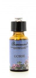 Gorse - Ginestrone