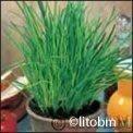 Semi di Erba Cipollina - 5 Gr.