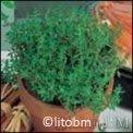 Semi di Timo (Tymus vulgaris)