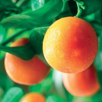 Olio Essenziale di Arancio Extra