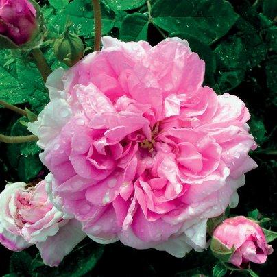 Olio Essenziale di Rosa Damascena