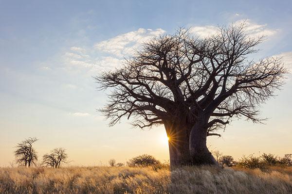 Polpa del Frutto di Baobab Bio