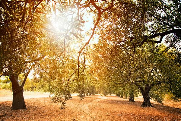 Profumo Naturale - Olivo Il Soffio - Spirito degli Alberi