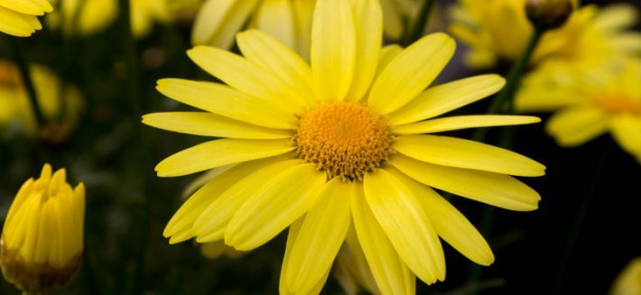 I Benefici dell'Arnica