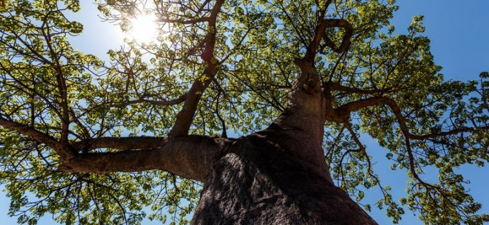 Baobab: il gigante buono dalle virtù curative e nutritive