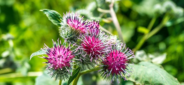 Bardana: non solo acne e dermatiti, la pianta dalle tante virtù