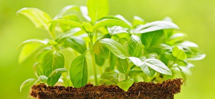 """Basilico: il """"Re"""" delle piante aromatiche"""