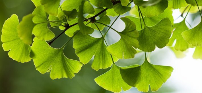 Ginkgo Biloba: una pianta dalle notevoli proprietà