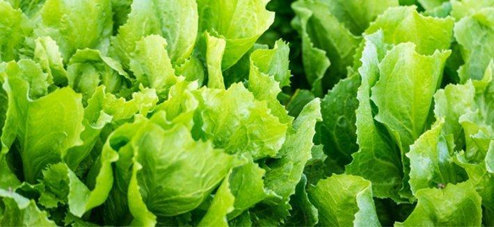 Semi di indivia: coltivare il gusto e la salute