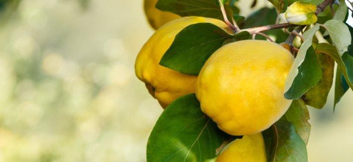 Il Melo Cotogno e i suoi frutti