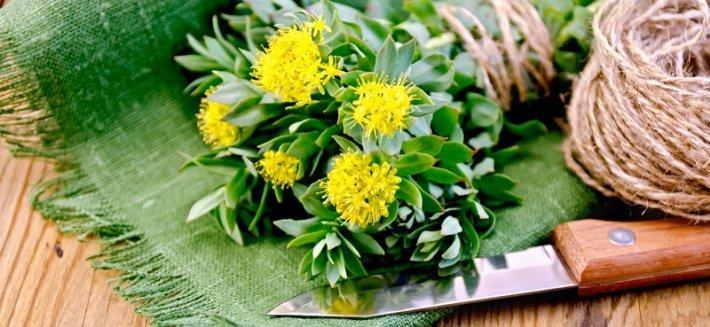 La Rhodiola Rosea, una pianta diffusa nei climi rigidi di Russia e Siberia oggetto di ricerche per le sue super proprietà.