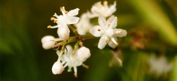 Shatavari: la pianta della fertilità