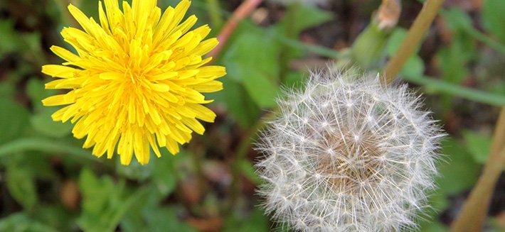 Il tarassaco è una pianta spontanea dalle molteplici proprietà curative