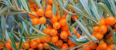Olivello Spinoso: proprietà, benefici e utilizzi