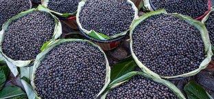 Bacche di acai, frutto piccolo ma ricco di proprietà nutritive