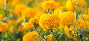 Semi di Tagete: consigli per la semina e l'acquisto