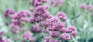 Valeriana: una pianta per combattere lo stress