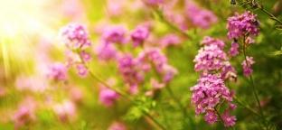 "Verbena Odorosa: una pianta ""magica"" dai numerosi utilizzi"