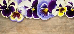 Viola: una pianta per la pelle, un colore per la psiche